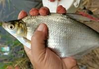 鲂鱼的食性及钓法技巧